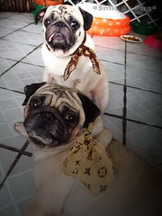 *SMILING PUG* - HAPPY VALENTINE'S DAY, FROM THE SWEETHEART PUG, MEL B & BUGBABY  *-* (*SMILING PUG*) Tags: b dog bunny love smile smiling thailand happy holidays bangkok c smiles pug valentine mel valentines pugs buggy puggy k9 bambam    bugboy impressedbeauty  theunforgettablepictures bugbaby smilingpug