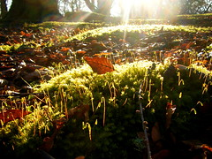Moss Spores in Sunlight (amypalko) Tags: woodland moss forestfloor sunbeam newgrowth beechleaf mossspores