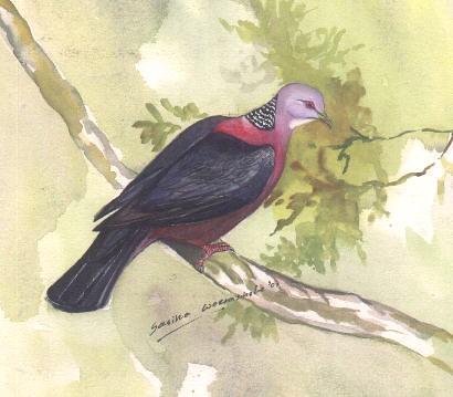 ???????? - Ceylon Wood pigeon by Asiri :).