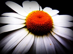 Flower on This Side (an ode to spring) (mightyquinninwky) Tags: white black flower colour yellow campus geotagged landscaping 10 5 award indiana southernindiana explore onwhite invite picnik orton onblack usi blueribbonwinner maincampus ohiorivervalley universityofsouthernindiana viewonblack edubuilding ohiorivercity evansvilleindiana superbmasterpiece diamondclassphotographer flickrdiamond platinumheartaward betterthangood vandenburghcountyindiana universityofsouthernindianacampus viewonwhite macroflowerlovers thecoolestgroup geo:lat=37963756 explorewinnersoftheworld awishforspring anodetospring geo:lon=8767755 jasonpresser exploreformyspacestation bestofformyspacestation