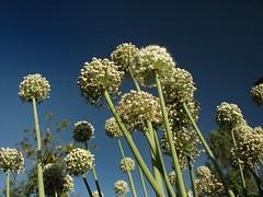Spring Onions (achuhari) Tags: flowers nature interesting explore thepca dsch2 platinumphoto kasarsai