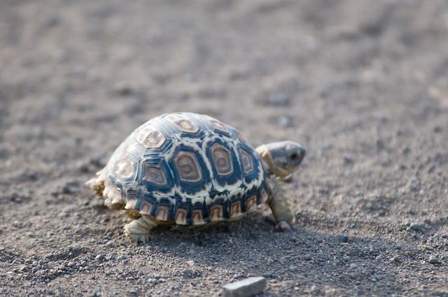 Tiny, tiny, tiny tortoise!