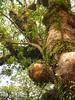 竹山鎮中和里救人老茄苳樹DSCN6036