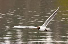 20080426-_MG_0215 (Ole Jrn Solberg) Tags: oslo fugl hettemke stensjvannet