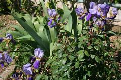 fleur iris