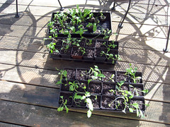 perennial seedlings