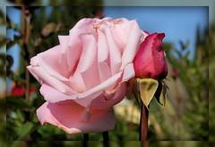 Pretty In Pink (scrapping61) Tags: california pink flowers roses flower rose explore bud mygarden 2008 fpc anawesomeshot impressedbeauty diamondclassphotographer flickrdiamond ysplix betterthangood theperfectphotographer scrapping61 thecelebrationoflife