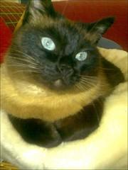 Pose de divo (aliywhilly) Tags: cats pets chats kitty kittens gatos felinos felines gatto katzen gatti mascotas kats kots