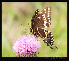 palamedes swallowtail butterfly (imajypsee) Tags: florida okaloacoocheesloughstateforest