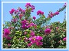 Bougainvillea 'Royal Purple', with deep purple bracts