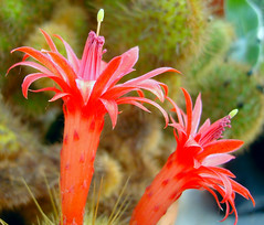 Unknown cactus flowes (jayessbark) Tags: flower macro rose fuchsia tulip wildflower cacus