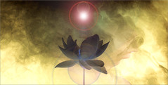 Different moods of white / Black Lotus Flower -IMGP7691-base-sun-1-1000 (Bahman Farzad) Tags: white black flower macro yoga peace lotus relaxing peaceful meditation therapy whitelotus lotusflower lotuspetal blacklotus lotuspetals lotusflowerpetals lotusflowerpetal