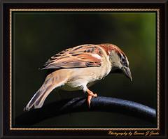 Sparrow (Dennis J2007) Tags: birds animals sparrow naturesfinest animalkingdomelite avianexcellence diamondclassphotographer flickrdiamond