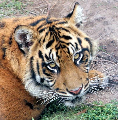 pictures of tigers and cubs. Sumatran tiger cubs