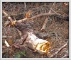 DSC03922 (Craig Robertson) Tags: animal wildlife redsquirrel balliter