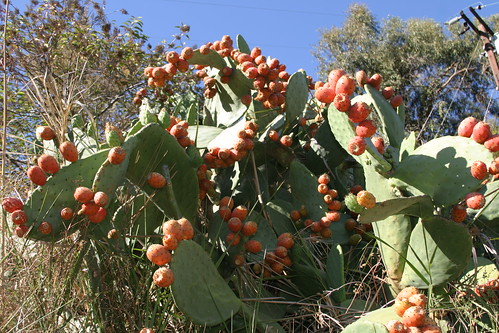 prickly pear in the canyon