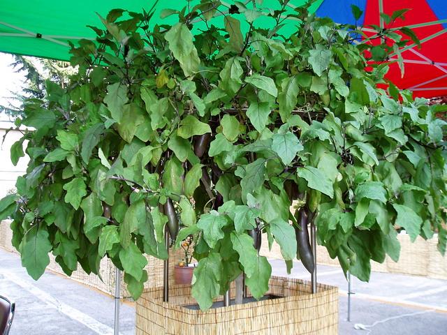 Баклажановое дерево