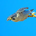 Peregrine Falcon in Dive by Jim Sullivan