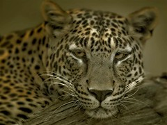 Tiger 4 (HANI AL MAWASH) Tags: 2 6 3 art nature animal animals photo al shots 10 5 4 great 7 8 9 kuwait animalplanet hani watcher  outstanding 1color artphoto   blueribbonwinner   animalphotos 12345678910  animalkingdomelite  kuwaitphoto   almawash kuwaitartphoto kuwaitart  mawash