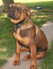 Max, (Born 1/30/06) (muslovedogs) Tags: dogs puppy mastweiler myladyoffspring lilboyoffspring