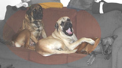 Milady and Excalibur (muslovedogs) Tags: dogs mastiff excalibur mylady