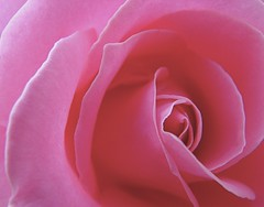 autumn rose - declaring the glory of God (Brian A Petersen) Tags: california pink november plant macro nature beauty rose garden brian jesus petal bible delicate gospel finest natures theology verse petersen naturesfinest bpbp brianpetersen brianapetersen
