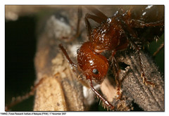 IMG_9657 (yimING_) Tags: macro nature insect spider malaysia ants frim forestresearchinstituteofmalaysia canonmpe65