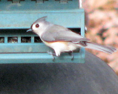 Tufted Titmouse 2 (Todds Photos) Tags: titmouse tufted