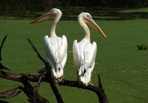 Pelican couple - back to back