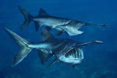 220cm Catfish Mississipi