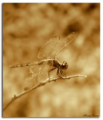 The golden dragonfly (Karina Diarte de Maidana) Tags: sepia insect golden bravo dragonfly paraguay karinadiarte