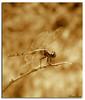 The golden dragonfly (Karina Diarte de Maidana) Tags: sepia insect golden bravo dragonfly paraguay karinadiarte