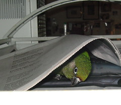 peek a boo (sansanparrots) Tags: bird paper eyes peekaboo beak parrot hide merlot peeking