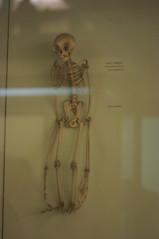 Gibbon skeleton (grahamparks) Tags: foresthill se23 hornimanmuseum