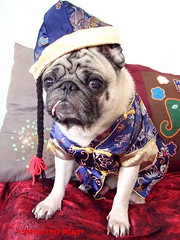 *SMILING PUG* - ????! Gong Xi Fa Cai! , HAPPY CHINESE NEW YEAR, PUG CHINADOLL MODEL BY BUGBABY *-*