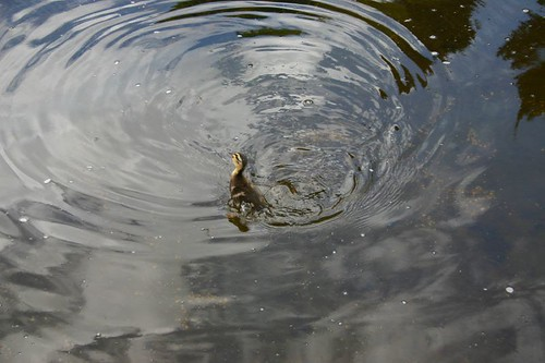 Duckling catching flies...