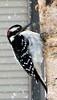 Downy Woodpecker (blmiers2) Tags: winter snow newyork bird nature beautiful birds geotagged woodpecker downywoodpecker picoidespubescens wildlife downy avian alcedinidae backyardbirds piciformes birdphoto picidae blm18 blmiers2