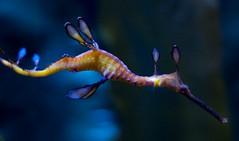 sea dragon, by ponypandaturtle