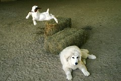 Sammy and the flying goat :0) (susyr22) Tags: dog baby white playing cute goofy animals puppy boer fun happy illinois kid big hilarious jump midwest play sweet farm joy adorable goat goats playtime babygoat livestock farmanimal boergoat greatpyrenees whitedog lgd beautifulworldchallenges