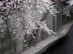 #5808 Meguro River and cherry blossoms (サクラ) (Nemo's great uncle) Tags: cherry geotagged tokyo 桜 cherryblossom sakura 東京 prunus meguroriver サクラ meguroku tōkyō 目黒川 目黒区 geo:lat=35651006 geo:lon=139686329