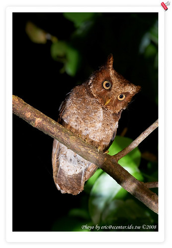 Mountain Scops Owl(????)