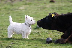 Westie meets Cow (Gus Mc) Tags: west scotland cow westie terrier highland arisaig cailean