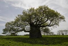 Bowthorpe Oak (Eco Heathen) Tags: lincolnshire bowthorpeoak meetingswithremarkabletrees