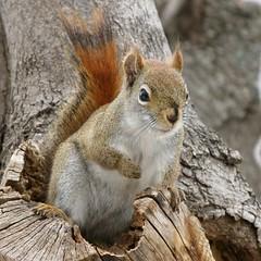 Écureuil roux -- Red Squirrel (Gilles Gonthier) Tags: canada nature animal mammal rodent squirrel québec rodentia redsquirrel mammifère écureuil sciuridae tamiasciurushudsonicus rongeur écureuilroux pinesquirrel canonpowershotg7 ggg713962008