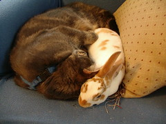 Tigger and Noisette-mai 2008 (dora_marie) Tags: friends cats rabbit bunny bunnies love cat chats friend kitten chat nap friendship sleep conejo kittens buns harmony rabbits lovely bun chaton conejos chaotns