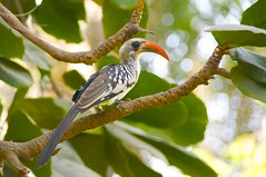 Northern Red Billed Hornbill (paul gy) Tags: hornbill gambia thegambia vividstriking