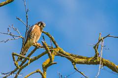 DSC_6077-Edit.jpg (susanm53@verizon.net) Tags: tuolumneriver male waterford americankestrel falcosparverious ca falcon