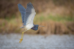 Tri Flying (gseloff) Tags: tricoloredheron bird flight bif wildlife horsepenbayou pasadena texas kayakphotography gseloff