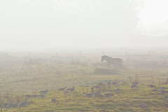 A horse at a misty afternoon (dejott1708) Tags: lower rhine the netherlands fog mist landscape horse goose field