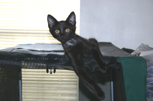 A small black kitten, the front of his neck shaved, lies on top of a canvas and mesh dog crate with one front leg hanging down.  His body is leaned hard to the viewer's left, while his head is upright.